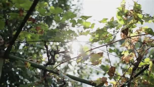 Trsy černých vinných hroznů podzimu patří sklizně a listy visí na vinici v mírné odpolední slunce světlo. Dva výstřely v posloupnosti