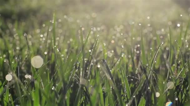 Kamera se pomalu pohybuje svěží jarní trávou s ranními kapkami rosy na louce nebo dvoře - makro zblízka s rozmazanými bublinami vody bokeh sledování záběru vpravo