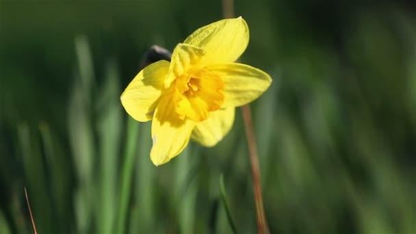 Makro zblízka jednoho kvetoucí žlutý květ narcisu pěstování venku na kvalitní zelené zahradním dvoře stále čerstvé kvetoucí, ale stromeček. Pěstování dekorativních rostlin