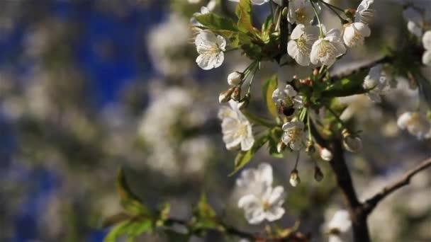 Makro zblízka včel, létání sběr pylu z květů třešňových květů na větev stromu na slunný jarní den v zahradě