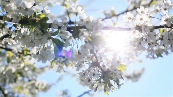 Mírné ranní slunce prosvítající bílé Třešňové květy rozkvétají na větvích stromu s včel, létání kolem sbírá pyl z květů