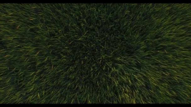 Weizenfeld von oben aus nächster Nähe. Windwellen grüne Weizenähren, die durch den Start eines Drohnen-Hubschraubers bewegt werden - low shot 4k hd. Grünes Gras Wiese Brise