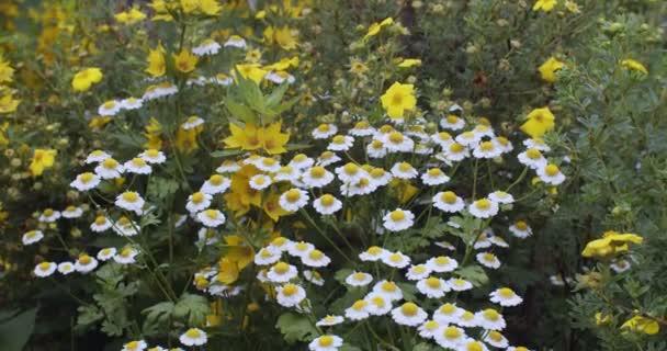 Přední pohled na divoké žluté květy rostoucí na venkovském poli v letním zpomalení. Na přírodní louce kvetou heřmánky. Koncept letní fauny a botaniky. Bylinný čaj mix zdravotní péče