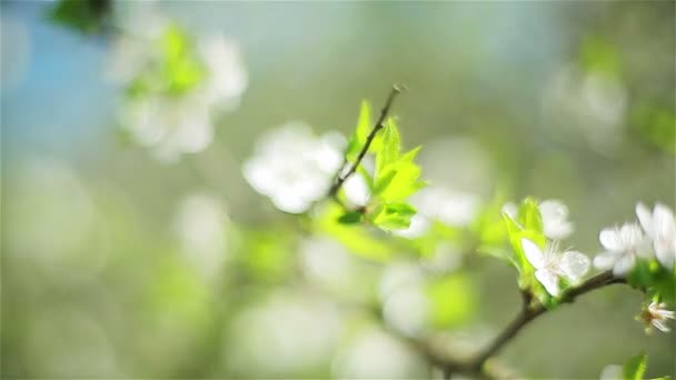 Close-up of cherry tree with white blossoms. Two shots