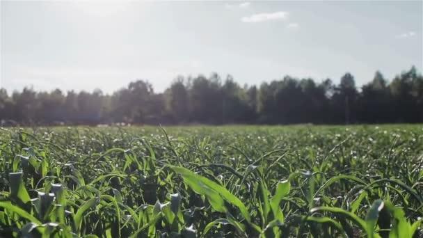 Kukuřičné pole v podsvícení. Rostoucí rostliny kukuřice v kukuřičném poli letní. Farmy plantáže kukuřice, obklopený lesem. Vertikální pánev
