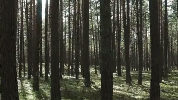 Procházení borovicemi v lese plném světla