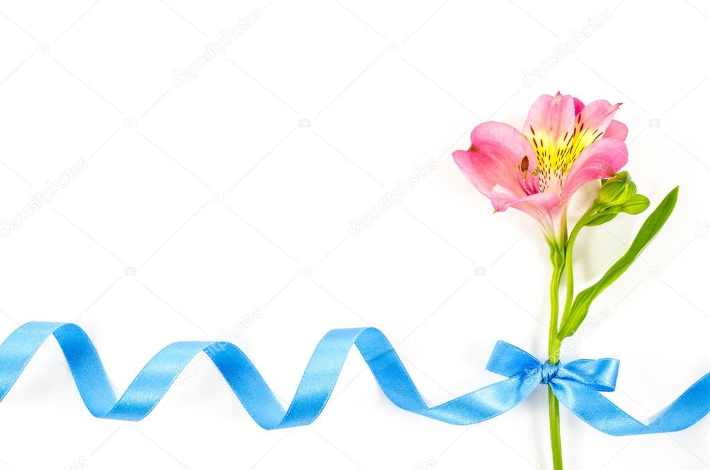 Colorful flower with blue ribbon on white background
