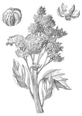 Hand draw quinoa