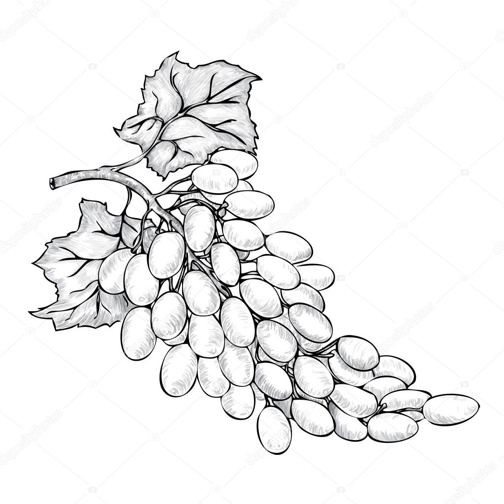 Pencil Sketch Of Bunch Grapes In Vector By Vitasunny