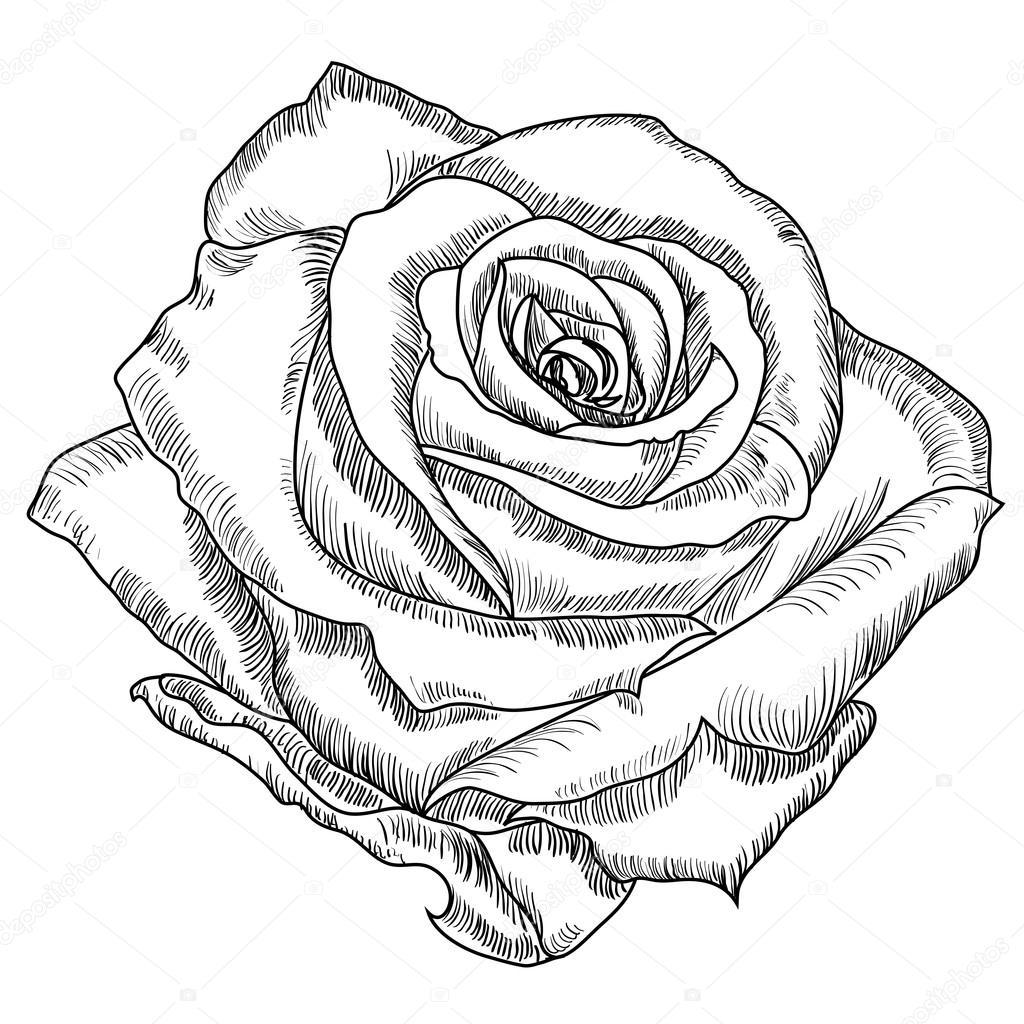 dibujo de flor color de rosa archivo imágenes vectoriales