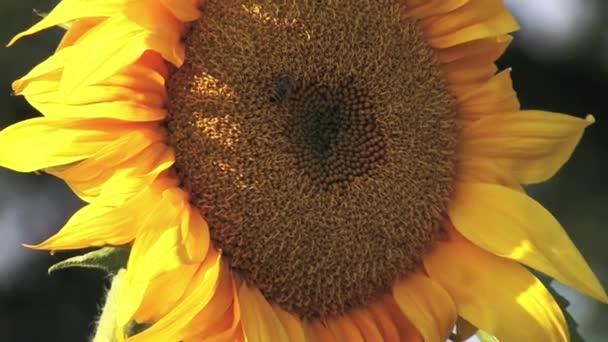 Slunečnice na slunečný den