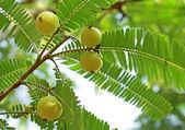 Indian Gooseberry, Phyllanthus Emblica