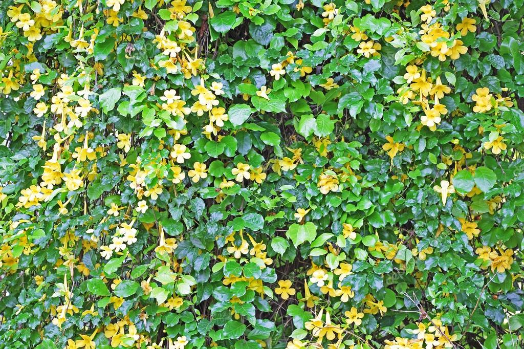 Wall Of Vine With Yellow Flowers Stock Photo Kallumgal 64559119