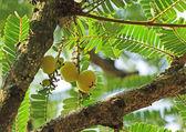 Fotografie Indian Gooseberry, Phyllanthus Emblica