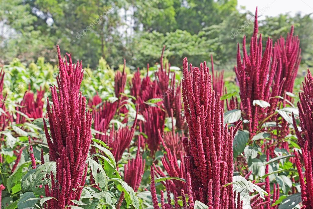 Indian Red Amaranth Field