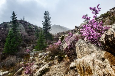 Rhododendron and flowers in Altai