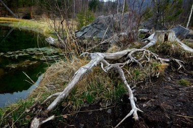 Sccenery of wild Siberian forest