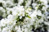 Apple tree květiny