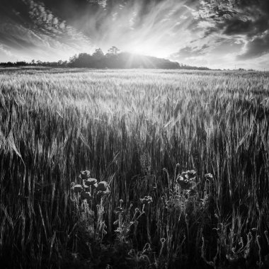 Wheat field with poppys. Black and white