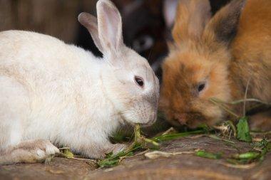 Llittle hares  eating green leaves