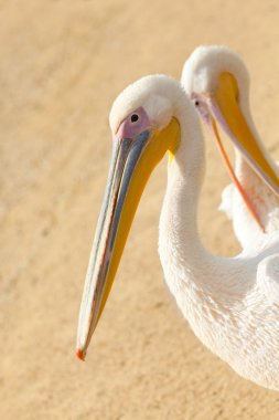 two young pink pelicans