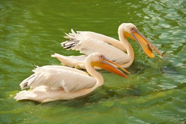 Pink pelicans wading in pond