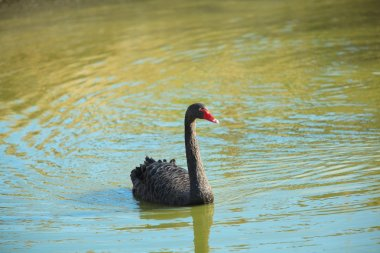 black swan swimming on pond