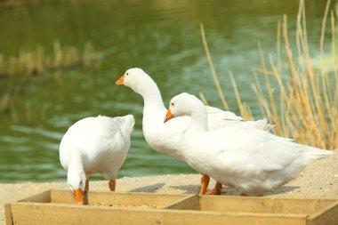 Snow goose birds feeding