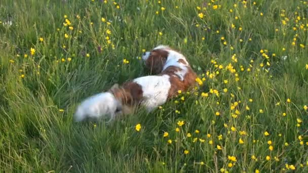 Dog is Rolling on Meadow