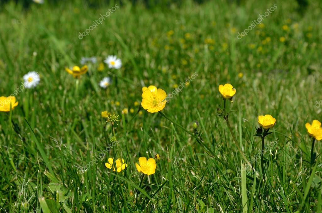 Fiori Di Montagna Gialli.Yellow Mountain Flowers Stock Photo C Bane M 77866254