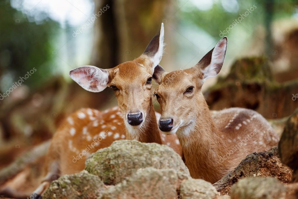 A couple of young capreolus deers lying together at a natural pa