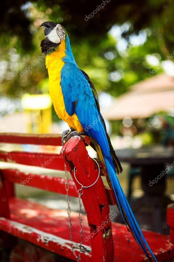 A poll macaw colorful parrot is sitting on a bench with chain on
