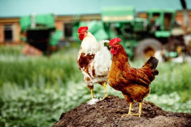 Image of two rural cocks standing at soil heap at agricultural mashines  background.