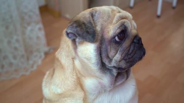 egy mopszli portréja. A kutya sértő szemekkel néz és élvezetet kér..