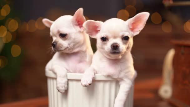 Chihuahua štěňátka v misce na pozadí vánočního stromečku