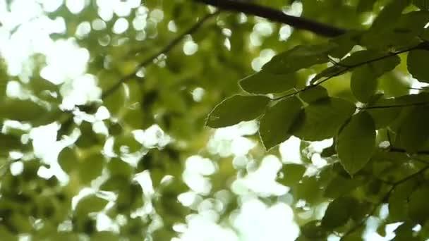 Přírodní pozadí. Krásné sluneční svit přes foukání větru strom zelené listy. Rozmazané abstraktní bokeh s sluneční erupce. Sluneční světlo. Sunflare. Zpomalený pohyb 240 fps. Vysokou rychlost fotoaparátu zastřelil 1080p