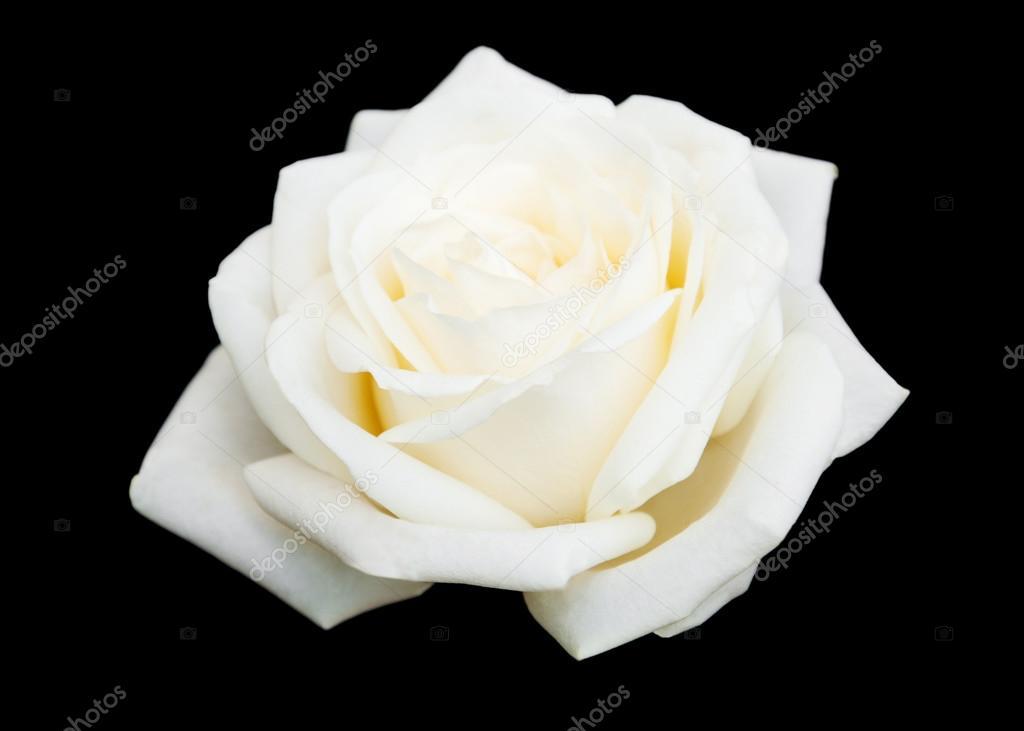 Sfondo Rosa Bianca Nero Rosa Bianca Su Sfondo Nero Foto Stock
