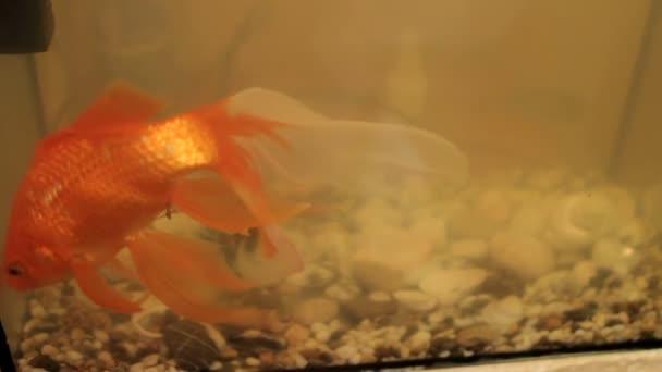 Goldfish in an aquarium dirty