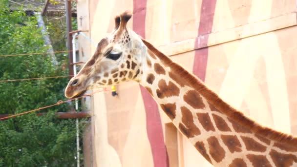 Giraffa camelopardalis, Giraffe (4K)