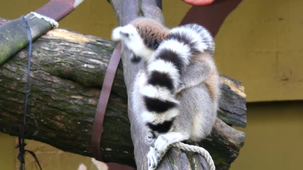 Lemurenkatze, Klingelschwanzmaki (4k)