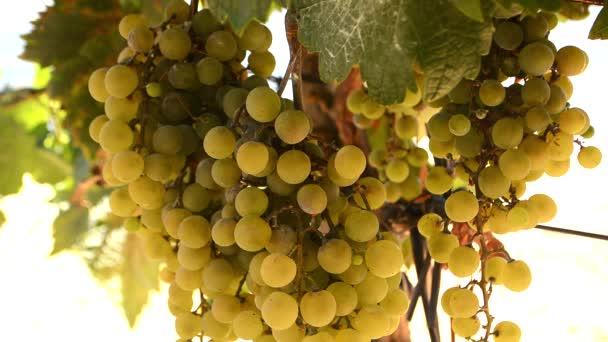 szőlőfürt, a szőlő