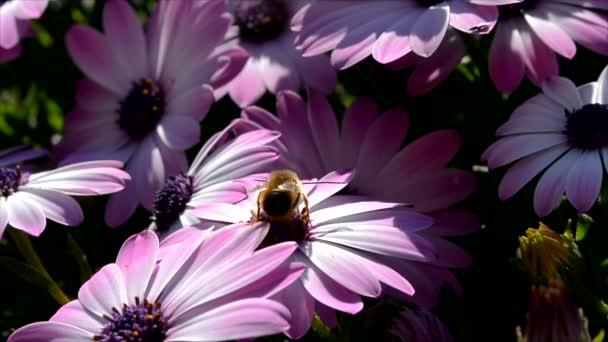 Včela na růžové sedmikrásky v zahradě