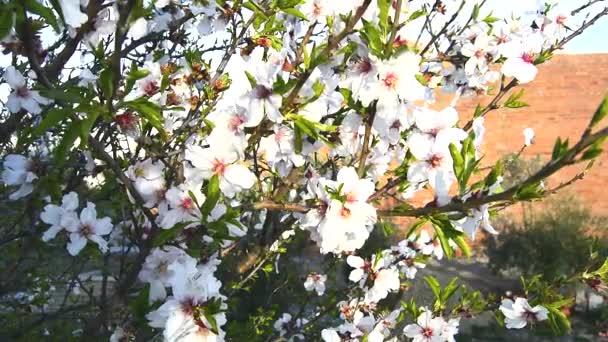 Mandlové kvetou na jaře