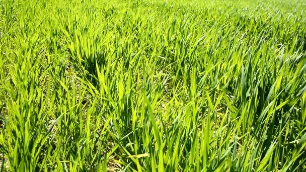 Zelený pšeničné pole roste