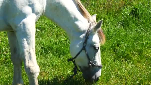 bílý kůň pasoucí se v poli