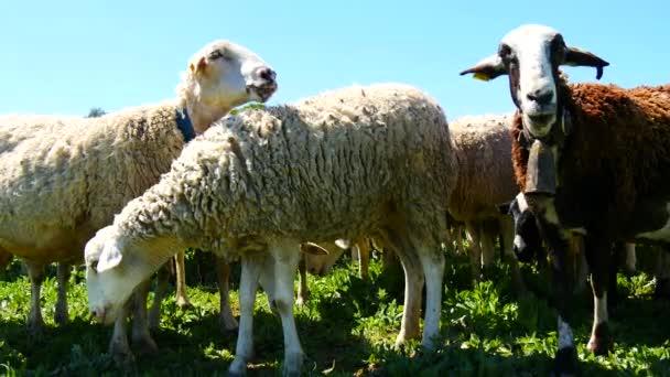 Schafherde auf dem Feld (4k)