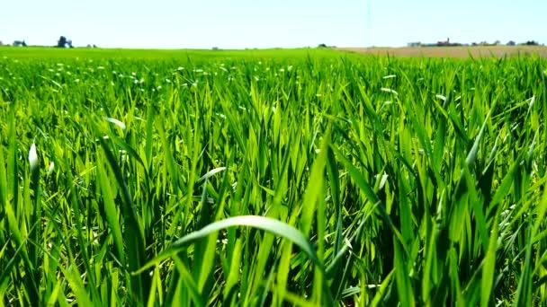 Zelený pšeničné pole roste (4k)