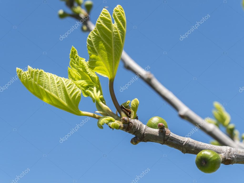 Focolai di un albero di fico in primavera foto stock for Albero fico prezzo