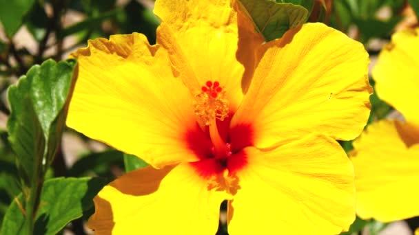 Sárga virágok hisbiscus (4k)