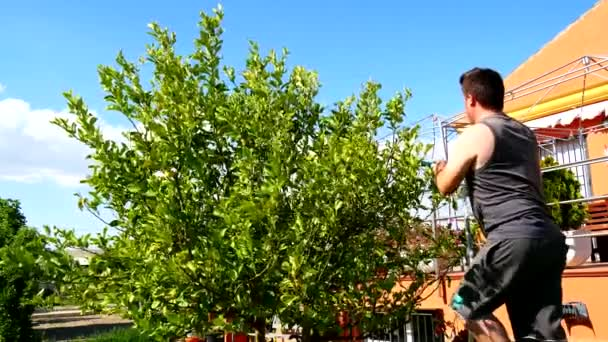 Metszés a citromfa (4k, az ember)